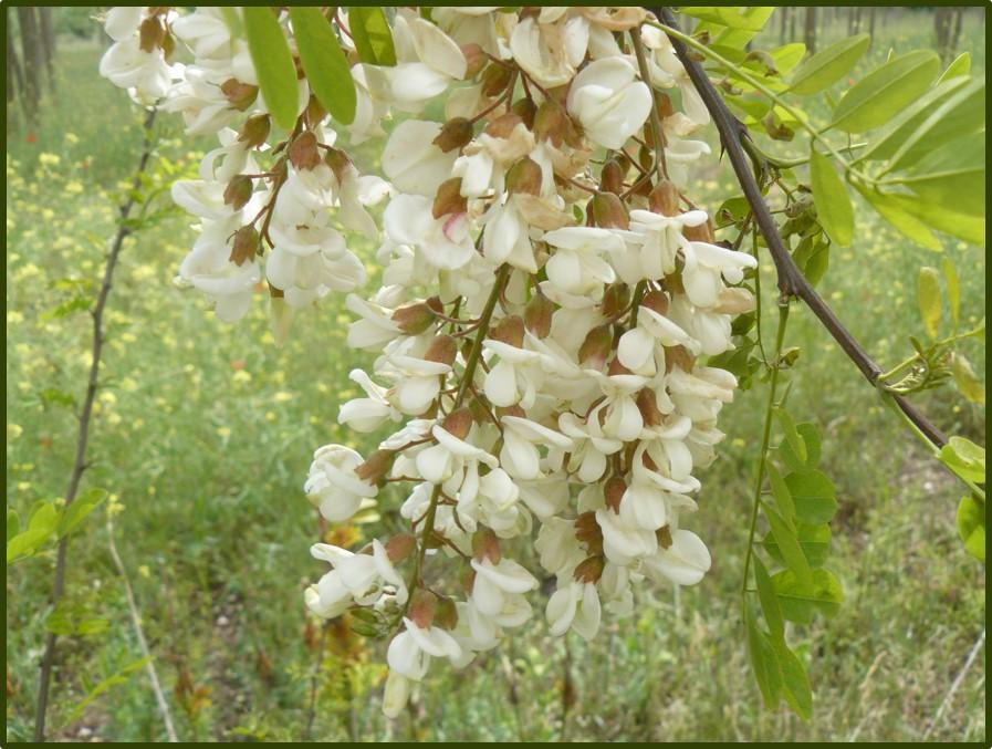 Az akác virágzata