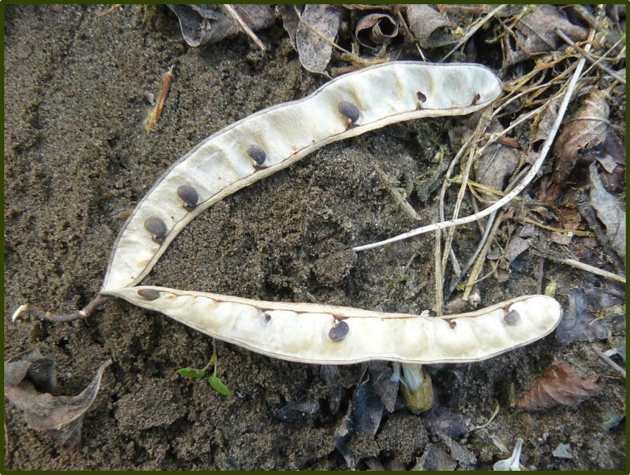 A felnyílt termés a magvakkal